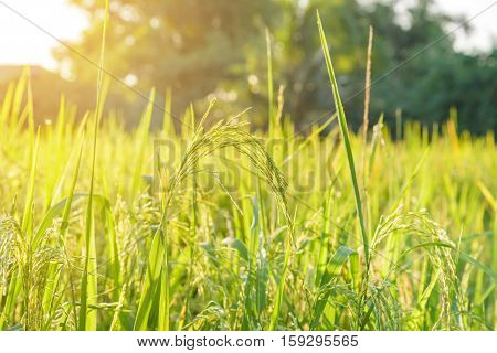 Rice field in Thailand. agriculture - stock photo
