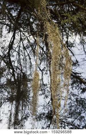 Spanish Moss Hanging From Tree
