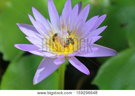 Lotus blooming purple lotus with bee stingers were surrounded with lotus leaves.