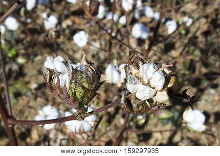Mature Cotton Plant
