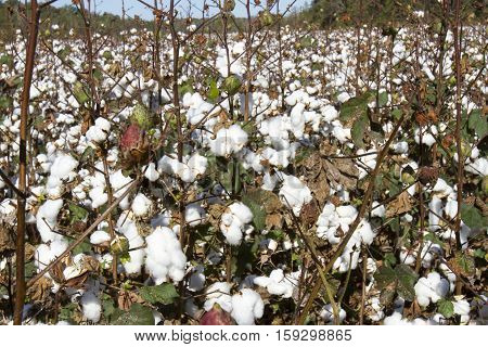 Field Of Cotton Plants