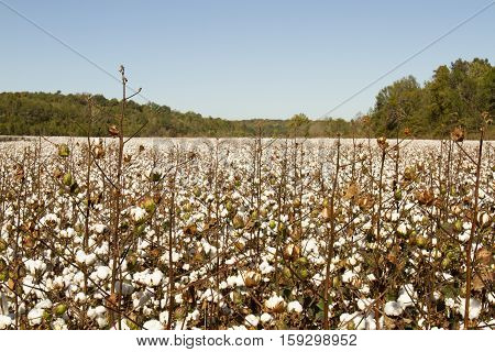 Field Of Mature Cotton Plant