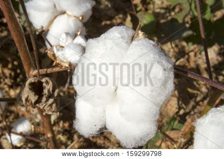 Close Up Of Cotton Ball