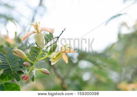 Tamarind tree blooming and bountiful natural chemical-free and clean.