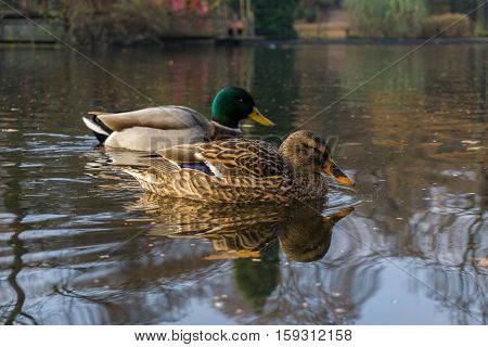 Close up of two passing Mallard Duck. Mallard Ducks at the Lake