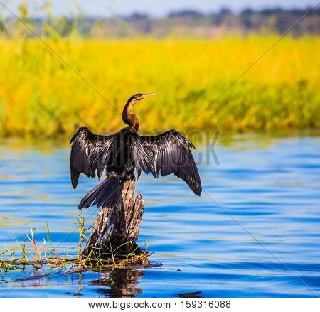 Big Bird wings opened sitting on a tree among water. Chobe National Park on the Zambezi River, Botswana. African cormorant dries its wings