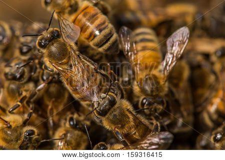 Honeybee Pile #3