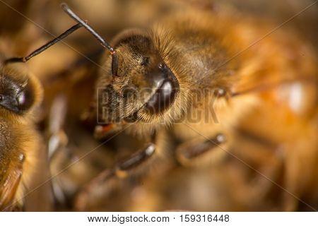 Honeybee Closeup #2