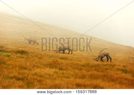 Chamois in the fog on a mountain meadow