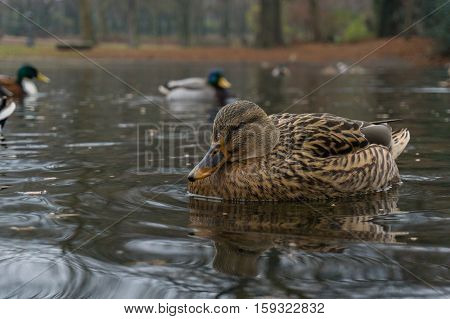 Closeup of beautiful brown Mallard Duck. Mallard Ducks at the Lake