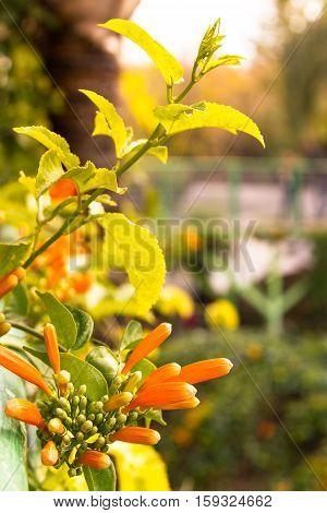 Pyrostegia venusta flamevine or orange trumpetvine climbing shrub with bright orange tubular flowers selected focus on blur background