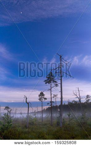 Landscape bog. Pines. Early morning. Fog. Moon