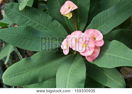 Pink flowers of the Crown of thorns Euphorbia millii