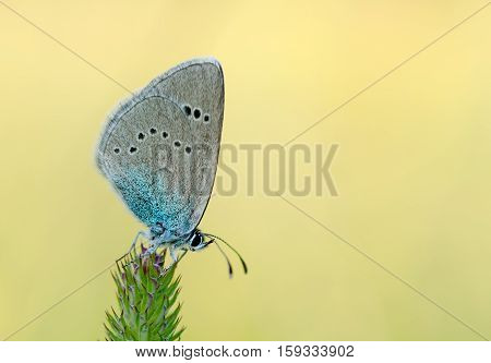 Grey blue butterfly on a stalk of grass blurred background close up.