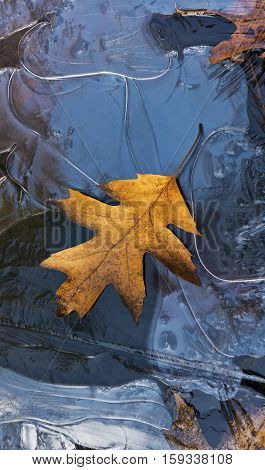A leaf lying on frozen water in a puddle