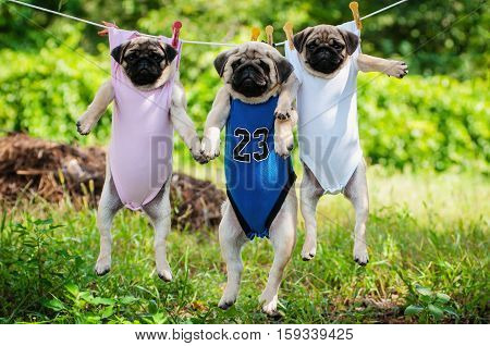 funny pug puppies weigh in a clothesline. funny pug puppies weigh in a clothesline