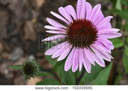 Echinacea Purpurea flower(Purple Coneflower) on blurred garden background with copyspace.Herbal medicine,alternative medicine,homeopathy concept.Selective focus.