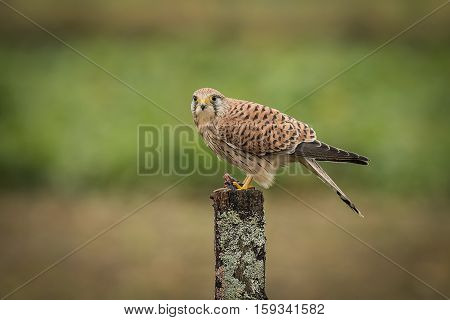 A female kestrel perched on top of a post in a field protecting her prey of a freshly caught mouse