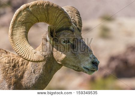 a close up of a nice desert bighorn sheep ram