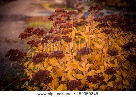 Inflorescences of flowers stonecrop close-up, lat. Sedum spectabile. Autumn yellow stonecrops  in flower bed.
