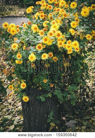 Autumn flowers, beautiful chrysanthemums in flower bed. Yellow asters growing in the park. Background of many small yellow flowers of chrysanthemum.