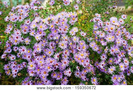 Autumn flowers, beautiful chrysanthemums in flower bed. Pink asters growing in the park. Background of many small violet flowers of chrysanthemum.