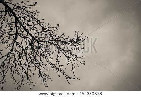 Dry tree, dead tree with beautiful branch silhouette on grey background. Suitable as reference for art and design work. Close up details of twisted tree branches.