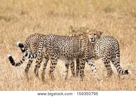 Group of cheetahs Masai Mara National Reserve Kenya East Africa