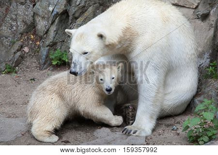 Six-month-old polar bear (Ursus maritimus) with its mother.