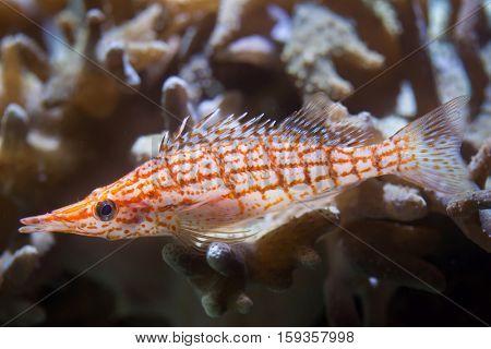 Longnose hawkfish (Oxycirrhites typus). Marine fish.