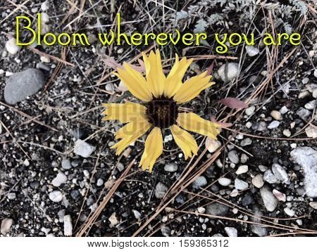Inspirational quote background.Bright yellow flower in bloom isolated on ground with leaves, bushes and rocks. Bright yellow petals and brown center. Jagged edges on petals.Lighting effects.