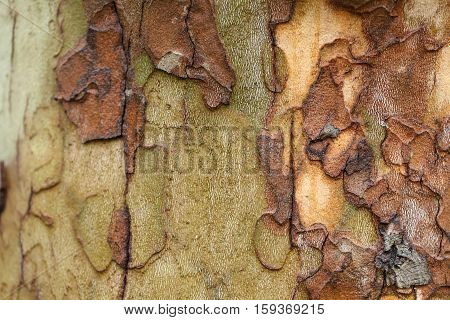 The texture of tree bark sycamore. Beautiful bark pattern. Close-up.