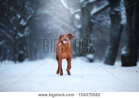 Active Dog Runs Vizsla Playing Outdoors