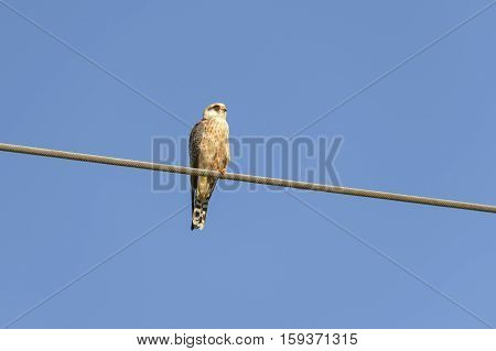 young kestrel leaning over a current wire