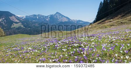 Meadow In The Alps With Purple And White Spring Crocus