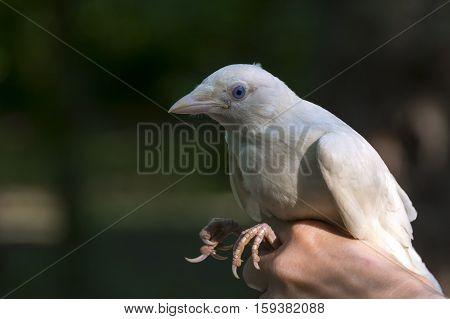 White Eurasian jackdaw Corvus monedula in hand