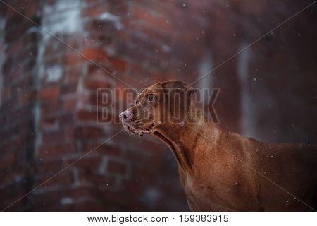 winter landscape Vizsla breed dog on a brick background