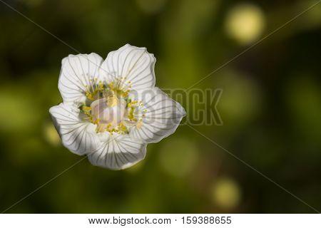 Marsh Grass of Parnassus (Parnassia palustris) one flower Closeup