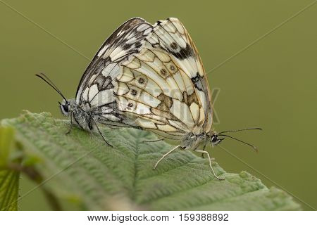 Marbled White (Melanargia galathea) Butterfly couple mating on a Leaf