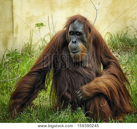 Very large Orangutan , Pongo pygmaeus THinking