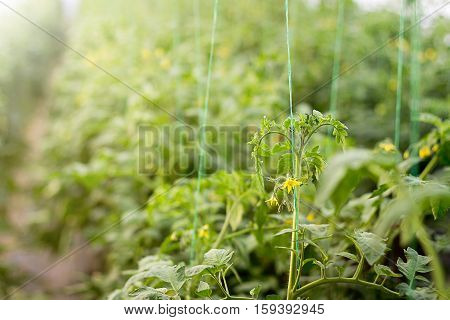 Organic Farming, Young Tomato Plants Growth In Greenhouse.