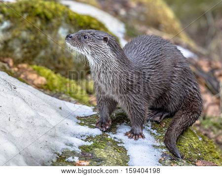 European Otter On Bank Of River