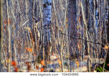 White tailed-deer hiding in a thick patch of woods.