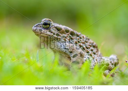 Green Toad In Grass