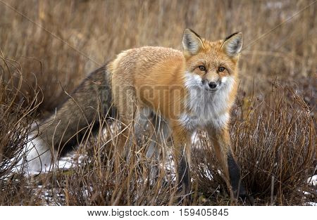 Red fox stops to stand and look at the camera.  Autumn in Churchill, Manitoba, Canada.