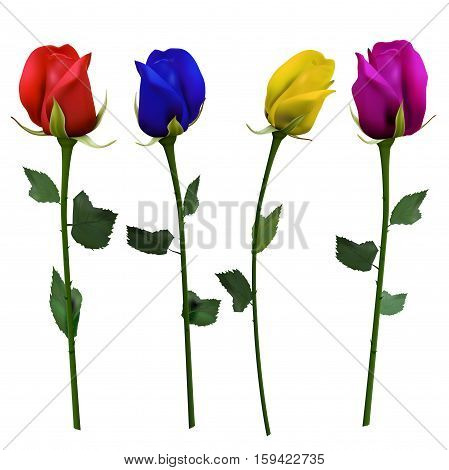 Set of four differently colored roses on white background - vector illustration