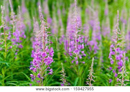 field of blooming sally flowers. Purple Alpine Fireweed.