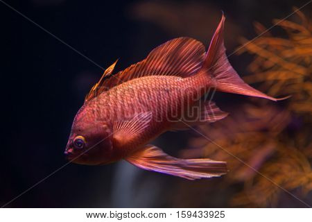 Swallowtail seaperch (Anthias anthias), also known as the red damselfish.