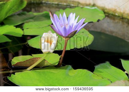 Lotus Flower In Pond Background