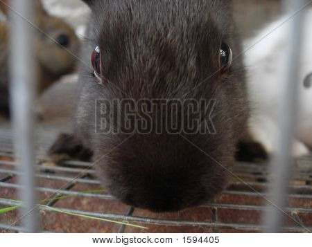 Close Up Black Bunny
